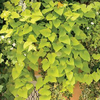 Margarita Sweet Potato Vine