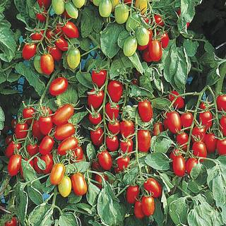 Juliet Hybrid Tomato Plants (pack of 3)
