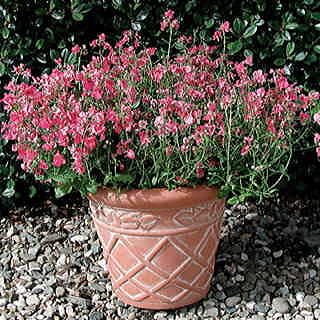 Coral Rose Diascia Diamonte Flower Seeds