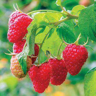 Caroline Raspberry Plant