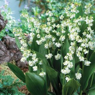 Lily-of-the-Valley Prolificans