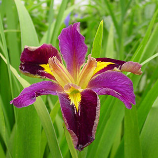 Jack Attack Louisiana Iris