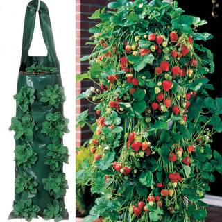 Whopper Strawberry Plants & 2 Growin Bags
