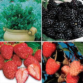 Basket of Berries Plant Collection