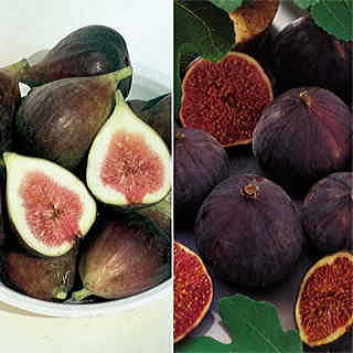 Parks Fig Tree Collection
