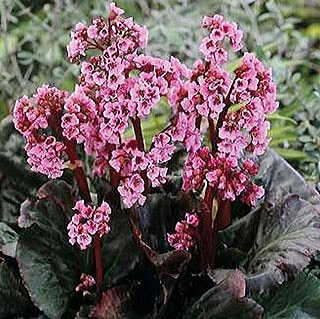 Edens Dark Margin Bergenia