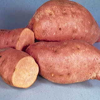 Centennial Sweet Potato Plant