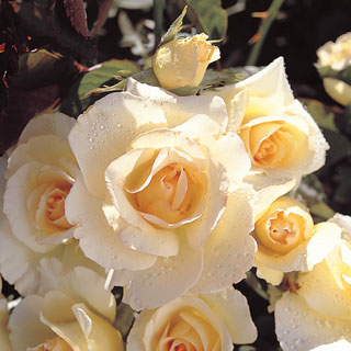 Grand Prize™ Floribunda Rose