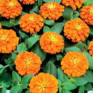 Magellan Orange Zinnia Seeds