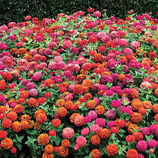 Magellan Persian Carpet Mix Zinnia Seeds