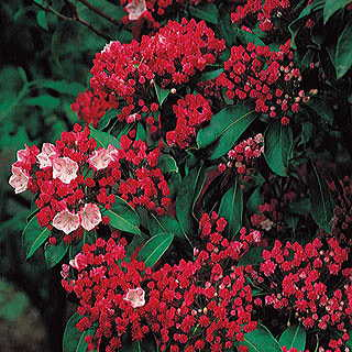 Olympic Fire Kalmia latifolia Mountain Laurel Shrub