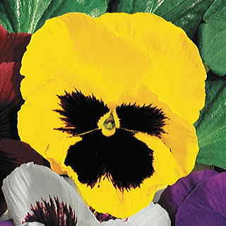 Parks Whopper Yellow Pansy Seeds