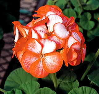 Ice Orange Hybrid Geranium Seeds