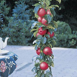 Malus Northpole™ Columnar Apple