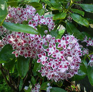 Galaxy Mountain Laurel