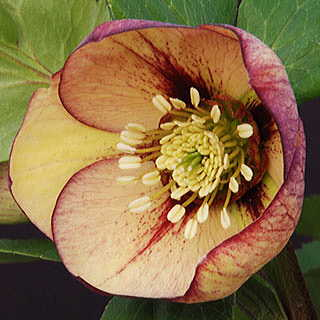 Winter Thriller™ Mango Magic Lenten Rose