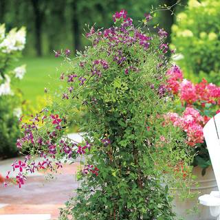 Sweet Summer Love Clematis Image