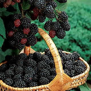 Navaho Blackberry Bush