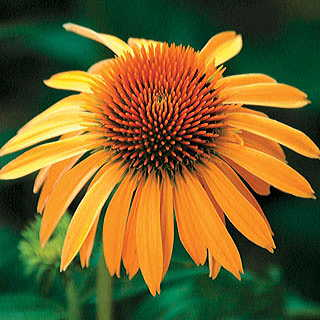 Harvest Moon™ Coneflower