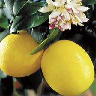 Meyer Improved Lemon
