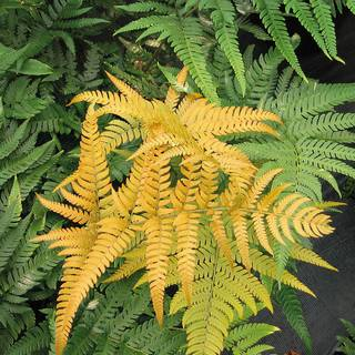 Golden Mist™ Asian Wood Fern