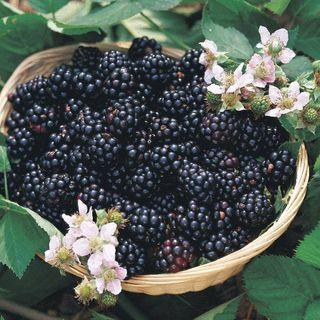 Triple Crown Blackberry Bush
