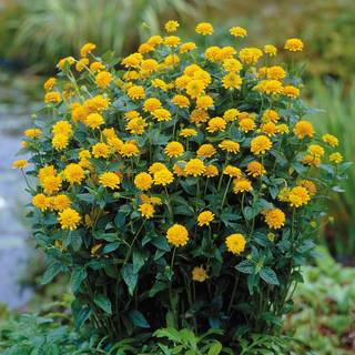 Asahi False Sunflower