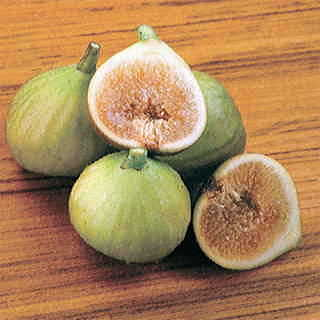 Italian Honey Fig Tree