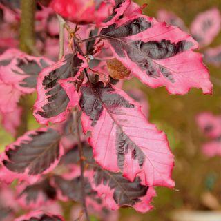 Fagus sylvatica Roseomarginata