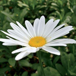 Leucanthemum Becky