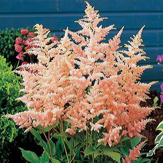 Peach Blossom Astilbe Japanese Astible Plant