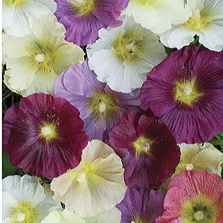 Summer Memories Mix Hollyhock