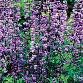 Purple Smoke Baptisia False Indigo Plant
