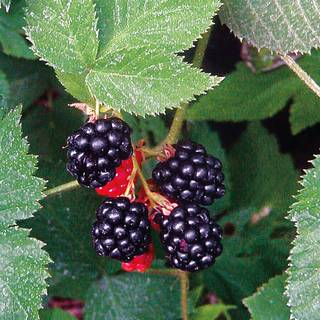 Rubus 'Black Satin' Blackberry Image