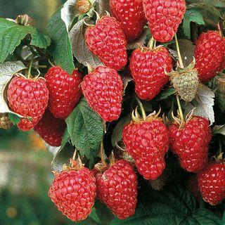 Rubus Heritage