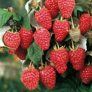 Heritage Raspberry - Pack of 3