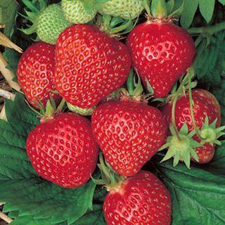 Quinalt Strawberry Plant
