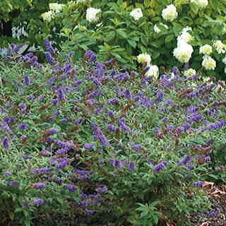 Lo & Behold™ Blue Chip Butterfly Bush