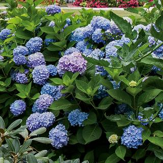 All Summer Beauty Hydrangea
