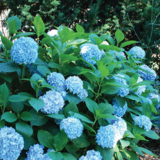 All Summer Beauty Hydrangea Image