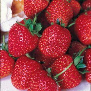 Tribute Strawberry Plant