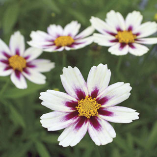 Coreopsis Big Bang™ Star Cluster