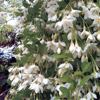 Fragrant Fountain Japanese Snowbell