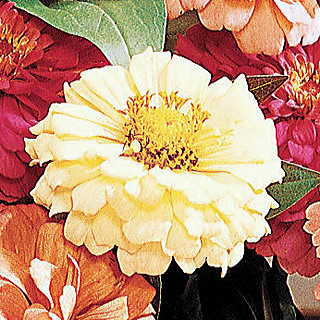 Parks Cutting Blend Paper White Zinnia Seeds