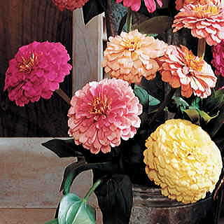 Parks Cutting Blend Pastel Shades Zinnia Seeds