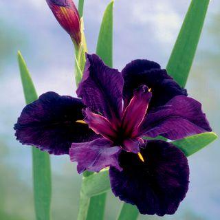 Iris Black Gamecock