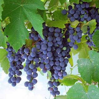 Vitis 'Concord' Grape Image