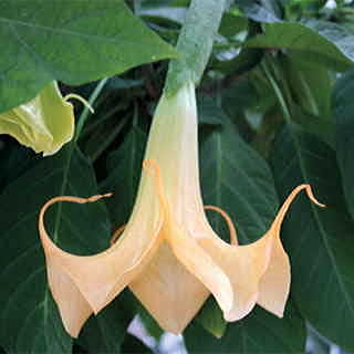 Angels Trumpet Cassies Curls Plant