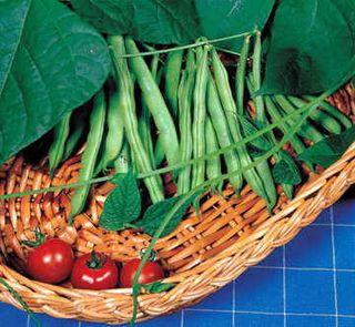 Derby Bean Seeds