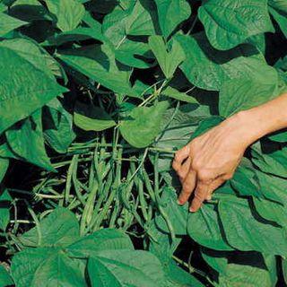 Jade II Bean Seeds